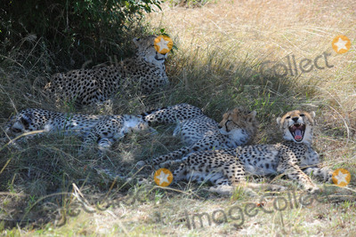 CHEETAH CUB Photo - March 5 2016 New York CityCheetah and cubs seen in Maasai Mara National Reserve on March 5 2016 in KenyaCredit Kristin Callahan